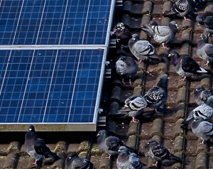 Pigeons on the roof.