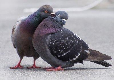 鳩カップル